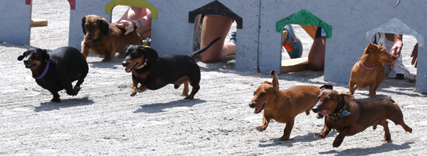 Wener Dog Races